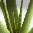 Zázračná aloe léčí spáleniny i obezitu. Jak ji pěstovat?