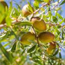 Argánie trnitá (Argania spinosa)