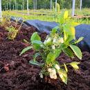Borůvková zahrada Racková, jeden velký splněný sen, rakytník a borůvky