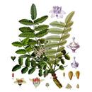 Kadidlovník pilovitý, boswellie (Boswellia serrata)