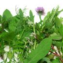 Rozmarýn lékařský (Rosmarinus officinalis)