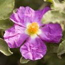 Cist Krétský – bájná bylina s mnohostranným využitím