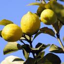 Citroník limonový (Citrus limon)