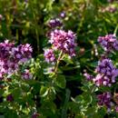 Přírodní rostlinné šťávy – Dobromysl obecná