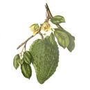 Přírodní rostlinné šťávy – Graviola anona