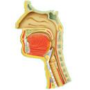 Onemocnění horních cest dýchacích
