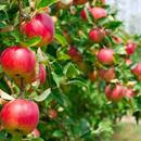 Jabloň (Malus)