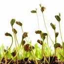 Nakličování semen