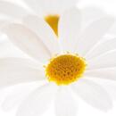 Řimbaba obecná (též kopretina řimbaba, Pyrethrum parthenium)