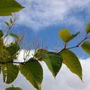 Křídlatka japonská (Reynoutria japonica)
