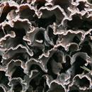Lišejník islandský (Cetraria islandica)