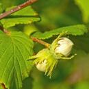 Líska obecná (Coryllus avellana)