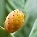 Nopál – Opuntia ficus indica