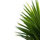 Serenoa repens (serenoa plazivá, též Sabal serulata nebo Saw palmetto)