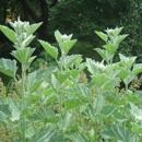 Proskurník lékařský (Althea officinalis)