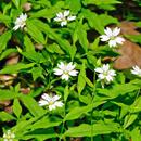 Pseudostelárie různolistá (Pseudostellaria heterophylla)