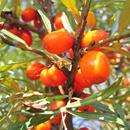 Přírodní rostlinné šťávy EkoMedica – Rakytník řešetlákový
