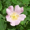 Přírodní rostlinné šťávy EkoMedica – Růže šípková