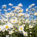 Sedmikráska chudobka a další jedlé květy