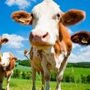 Klady a zápory hovězího masa