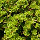 Šrucha zelná, zdravý jedlý plevel
