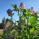 Alfalfa (tolice vojtěška)
