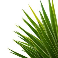Yucca – přírodní prostředek pro očistu organismu