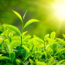 Tradice zeleného čaje