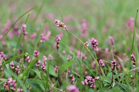Rdesno blešník (Persicaria lapethifolia)
