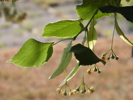 Lípa evropská (Tilia x europaea)
