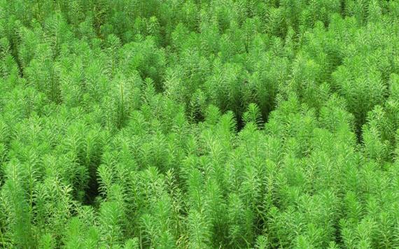 Pelyněk brotan (Artemisia abrotanum)