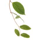 Smilax lékařský – (Smilax officinalis, Sarsaparilla veracruz)